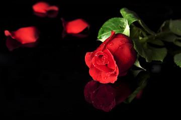 Rosa Rossa su Sfondo Nero