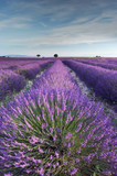 Fototapety Lavender field in Provence during early hours of the morning
