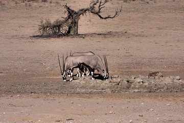 Oryx 1