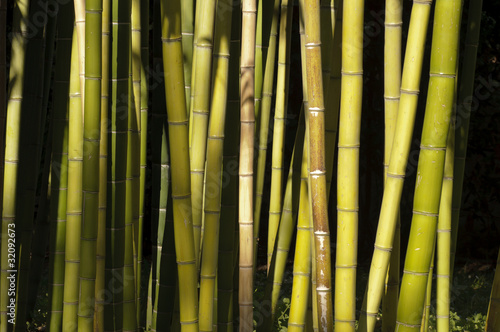 Poster Bamboe Giant Bamboo forest detail in the late afternoon sun