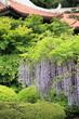 藤の花 (東京・新宿御苑)