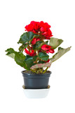 Red begonia in pot