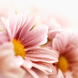 Fototapety Beautiful daisy flowers closeup