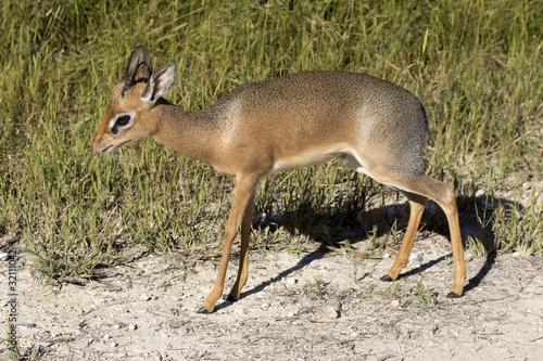 Fotobehang Antilope Kirk-Dikdik