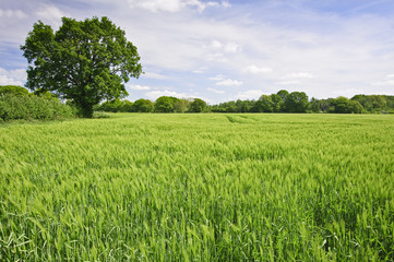Beautiful Spring Summer image of windy corn field with vibrant b