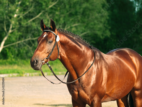 beautiful trakehner stallion