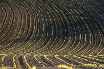Kulturlandschaft Niederösterreich: Junge Maispflanzen