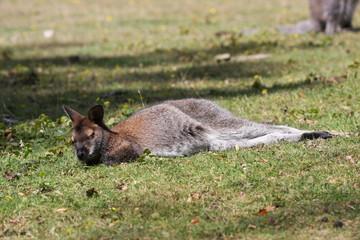 Bennett Wallaby, Kangaroo