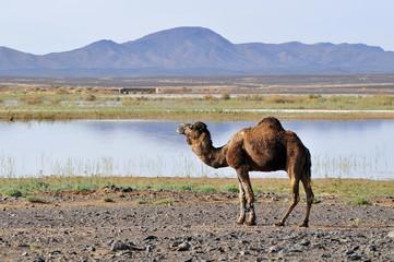 Dromedary at Merzouga lake, Errachidia, Morocco, Africa