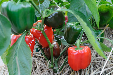growing red pepper