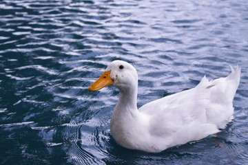 White Duck Swimming in a Pond