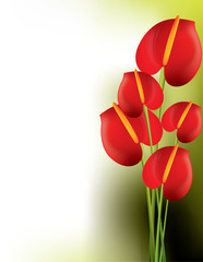 Beautiful red anthurium