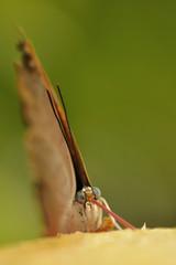 Butterfly proboscis in action