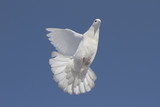 White dove flying in the blue sky #4