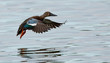 Australasian Shoveler landing - Native Australian Bird