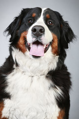 Bernese mountain dog. Close-up portrait