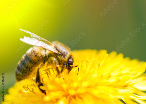 Deurstickers Paardebloem Bee on dandelion