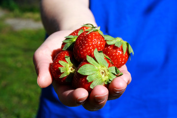 Strawberries in hand photo illustration