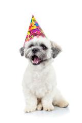party puppy bichon havanese