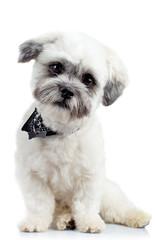 curious small bichon havanese puppy