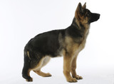 young german shepherd dos on profile