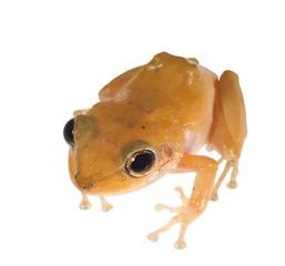 Caribbean coqui leaf frog (Eleutherodactylus portoricensis). Sym