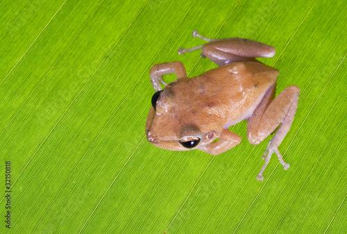 Foto op Canvas Kikker Caribbean coqui leaf frog (Eleutherodactylus portoricensis). Sym