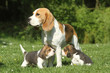 beagle female and puppies