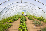 Crops growing in a polytunnel
