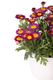 studio shot of a marguerite in a flowerpot isolated on white