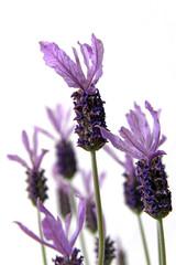 schopf-lavendel