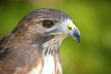 Hawks head