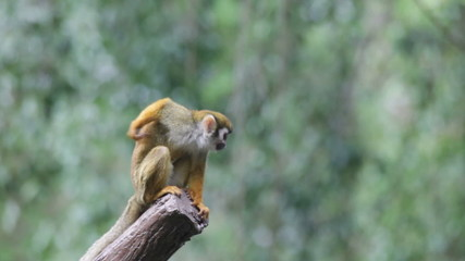 Squirrel monkey in a branch in Costa Rica