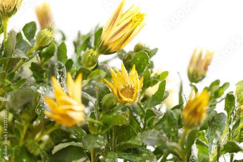 Wet Chrysanthemum Flowers