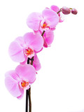 Fototapety Beautiful pink Orchid, isolated on a white background.