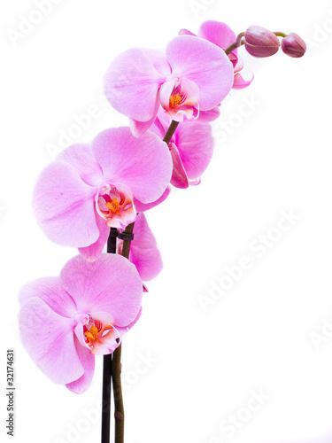 piekna-rozowa-orchidea-odizolowywajaca-na-bialym-backgro