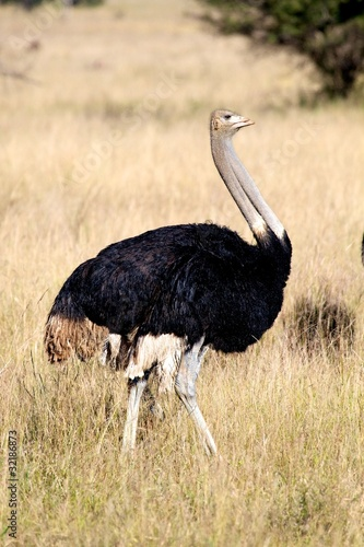 Foto op Canvas Struisvogel Ostriches
