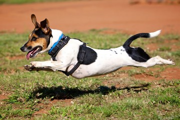 Mid Air Jack Russell