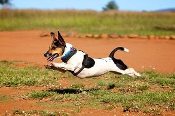 Leaping Jack Russell