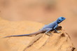A Sinai Agama Warming itself in the Sun, Petra