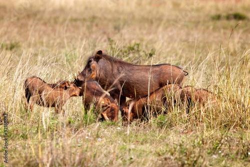 Papiers peints Antilope Warthog Family