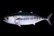 Bluefin tuna isolated on black background