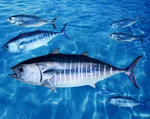 Bluefin tuna Thunnus thynnus fish school underwater