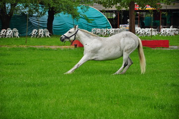white horse on grass
