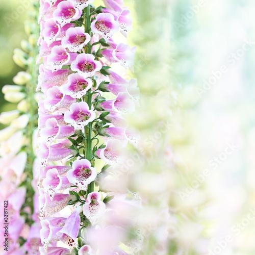Spring summer digitalis or foxglove flowers on bokeh background