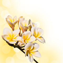 Branche de frangipanier, fond blanc