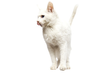 Domestic Ankara Cat licking