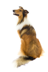 Sitting Shetland Islands  Collie