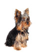 Sweet puppy Yorkshire Terrier in front on white background