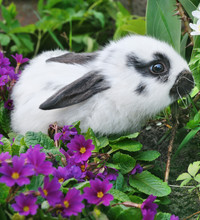 Puszyste królik i niebieskie pierwiosnki